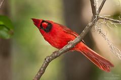 Well, Hello There (ac4photos.) Tags: cardinal northerncardinal nature wildlife animal bird florida naturephotography wildlifephotography animalphotography birdphotography nikon d300s tamron ac4photos ac