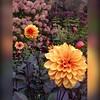 Det är en mild och skön #oktoberdag när vi besöker #inspirerande och #vackra Ströms #Trädgård utanför #Markaryd #Visningsträdgård #Snittblommor #Dahlior verkligen värt ett besök. 👍😊 dela gärna. (svenskvagguide) Tags: oktoberdag inspirerande vackra trädgård markaryd visningsträdgård snittblommor dahlior