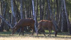 IMG_4763 (minions) Tags: rambouillet 2016 parc animaux cervids