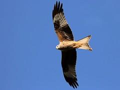 Red Kite over Harewood (2) (robin denton) Tags: redkite bird birdofprey milvusmilvus nature wildlife harewood