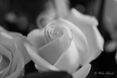 BW White Rose-0957 (Orkakorak) Tags: roses whit red bw
