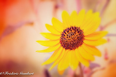 Autumn Sun (frederic.gombert) Tags: flower sunflowers light sunlight sunflower yellow orange sun garden plant macro nikon d800