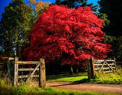 Westonbirt Arboretum A Gateway to Autumn (Ghosty_87) Tags: 2016 autumn fall flowersplants landscape october westonbirt2016 leaves westonbirt england unitedkingdom gb