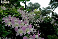 DSC_0027 (Fabio Brenna) Tags: flower flowers fiori fleurs flores colors orchid orchidea orchidee orchids orqudeas orchides