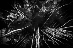 Vines (johnny.barker) Tags: vines abyss one point cleveland botanical gardens black white bw abstract creepy
