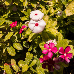 white-&-pink-flowers (shadijan) Tags: nature flowers white pink