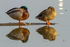 Duck Reflections (SaunTek) Tags: nature water reflections duck wildlife mallard