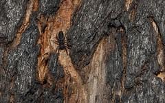 unknown bark jumping spider, perhaps subfamily Harmochirinae (dustaway) Tags: nature spiders arachnid australia bark nsw jumpingspider arthropoda arachnida araneae salticidae araneomorphae australianspiders northernrivers richmondvalley borderloop angophorasubvelutina harmochirinae