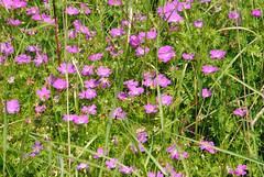 Blodnva, Geranium sanguineum (annamaart) Tags: flowers summer blommor archipelago sommar skrgrd stockholmarchipelago stockholmsskrgrd lid
