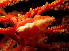 Red Bug (Hai-Ray) Tags: canon indonesia underwater powershot scubadiving indonesien saltwater tauchen unterwasser 2015 g16 rajaampat salzwasser pindito
