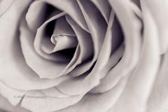 12/100x ~ Rose ({Andrea}) Tags: flower macro rose tamron90mm macromondays flowersinblackwhite canoneos6d image12100 100xthe2015edition 100x2015