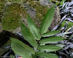 Pronephrium asperum (Black Diamond Images) Tags: fern sydney nsw ferns royalbotanicgardenssydney thelypteridaceae arfp rbgs royalsydneybotanicgardens qrfp arffern pronephrium pronephriumasperum tropicalarf rbgsarfp
