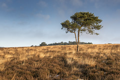 Lonesome Pine. (miketonge) Tags: texture pine heather heath grassland moorland bowland longridge ribblevalley