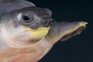 Pig-nosed turtle / Carettochelys insculpta