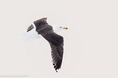 Big bird (rdroniuk) Tags: birds gulls waterbirds oiseaux greatblackbackedgull larusmarinus golands oiseauxdeau golandmarin