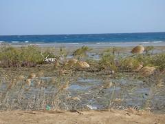 Bassa marea (80) (Naturalmentescienza) Tags: rosa acacia aquila granchio salicornia airone spinosa beccaccia cormorano spatola mangrovia tamerice
