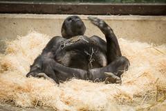2015-01-10-11h16m02.BL7R9912 (A.J. Haverkamp) Tags: amsterdam penis zoo gorilla thenetherlands artis dierentuin shomari canonef70200mmf28lisusmlens httpwwwartisnl dob12072007 pobamsterdamthenetherlands