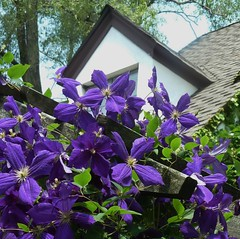 Wheaton, IL, Purple Clematis Flowers (Mary Warren (6.3+ Million Views)) Tags: flowers nature flora purple blossoms clematis blooms wheatonil