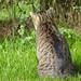 tabby cat Osama