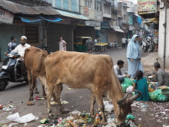 Holy Cow Ahmedabad Old Town Gujarat India Heilige Kuh Indien (c) (hn.) Tags: road street november copyright india animal trash kuh cow asia asien heiconeumeyer indian slush filth altstadt oldtown mll indien oldcity tier gujarat ahmedabad dreck abfall copyrighted 2014 in ahmadabad northindia holycow indisch strase amdavad indiancow heiligekuh nordindien indischekuh tp201415