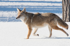 December 27, 2014 - A coyote goes for a walk in fresh snow at Cherry Creek State Park. (Tony's Takes)