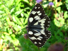 Melanargia galathea (beneventi2013) Tags: lepidoptera nymphalidae canonpowershota610 paolobeneventi