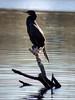 GilbertRP-Jan2015-1 (birdistheword1980) Tags: bird nikon birding gilbert lightroom nikoncoolpix 2015 herping birdnerd riparianpreserve wintermigration gilbertwaterpark adecadebetween