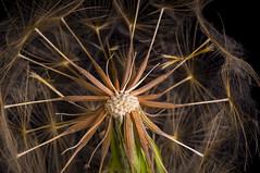 Closeup of the inside of a blowball (Erik Norder) Tags: macro nature closeup 50mm weed seedhead salsify blowball tragopogondubius blowballs sony50mmf28macro sonyalpha580 wishieorclockofthesalsify