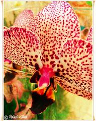 Orchid para el da de las flores. (akel_lke ) Tags: espaa orchid flower rachael fleur rachel spain europa europe flor movil samsung mobil raquel murcia celular blomma bunga blume tiare fiore blte virg bulaklak ua lore orchide rakel xay bloem lill orqudea blm iek orchidea kwiat blodau orkide tegeirian lule kukka kembang   cvijet  orkidea  zieds  gl kvtina kvetina floare rochele   rahela  bltezeit regindemurcia   samsunggalaxy rakelelke samsunggalaxymini magairln ubaxa rakelmurcia samsunggalaxyminisiii