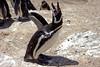 Magellanic penguin, Peninsula Valdes, Chubut, Argentina (hjkwantstoknow) Tags: patagonia bird argentina penguin wildlife atlantic peninsula valdes animalplanet chubut peninsulavaldes wildpenguin