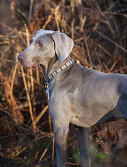 Indi the Weimaraner (davpic) Tags: dog pet animal weimaraner indi