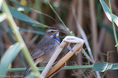 Bluethroat (Doug Gochfeld) Tags: blue winter male reeds israel perched february eilat bluethroat