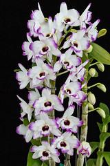 Dendrobium Love Memory 'Fizz' (hawaiiansunshine) Tags:
