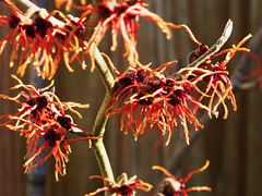 Witch hazel (mark.griffin52) Tags: winter flower tree garden buckinghamshire shrub witchhazel cheddington olympusem5