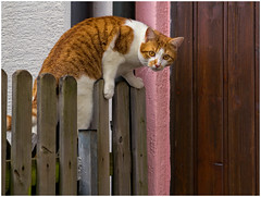 Guess who's coming to dinner ... (FocusPocus Photography) Tags: animal cat fence garden chat gato katze zaun garten kater ramses tier