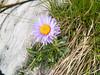 Alpenaster (Heinrich Plum) Tags: alps flower fuji alpen blume x10 bgl berchtesgadenerland alpenaster asteralpinus heinrichplum