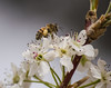 Photo of Bees and Bradford Pear 4