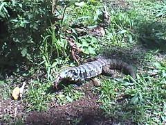 Sunny Monitor Lizard