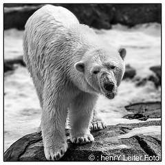 Polar-Bear. (: henrY Leiter Foto) Tags: bear columbus ohio cute nature animal portland photography zoo wildlife maine polarbear cuddly henryleiterfoto