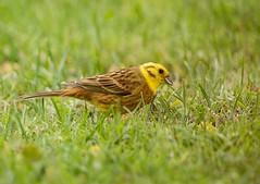 Yellowhammer_m (.Hogan.) Tags: uk wild bird nature scotland nikon wildlife birding avian yellowhammer 300mmf4 sandyhills d810 dumfiresgalloway
