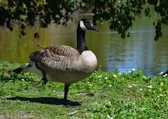 Canada Goose (careth@2012) Tags: goose canadagoose nature wildlife