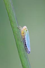 Ruohokaskas - Cicadella viridis - Green leafhopper (Henri Koskinen) Tags: green leafhopper ruohokaskas cicadella viridis kaskas helsinki uutela 22072016