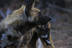 Wild Dog (crafty1tutu (Ann)) Tags: travel holiday southafrica africa trip 2016 animal wilddog carnivore wild free roamingfree crafty1tutu canon7dmkii anncameron ef100400mmf4556lisiiusm handheld naturethroughthelens