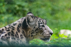 Snow Leopard (icanhascamera) Tags: snow leopard zoo veszprm veszprem pentax k50 animal cat