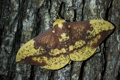Imperial Moth (Eacles imperialis) (MJGjuggler06) Tags: eacles imperialis imperial moth lepidoptera west union ohio adams county
