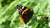 P1000464web Red Admiral (staticgirl) Tags: redadmiral vanessaatalanta butterfly brushfootedbutterfly
