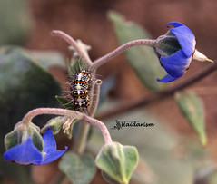 Out of the Blue (haidarism (Ahmed Alhaidari)) Tags: blue flower insect bug animal caterpillar outdoor nature bokeh depthoffield sonya65 macro macrophotography ngc