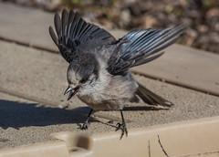 Gray Jay (Perisoreus canadensis) (NigelJE) Tags: grayjay greyjay canadajay whiskeyjack perisoreuscanadensis perisoreus corvidae nigelje tetlinnwr bird