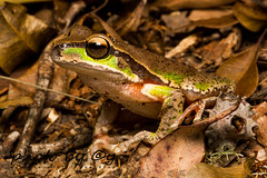 The Blue Mountains tree frog (Litoria citropa) (peter soltys) Tags: petersoltys photography macro macrophotography adventure photobycy herping amphibia frog thebluemountainstreefrog litoriacitropa litoria