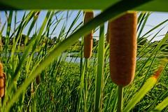 Cattails In the Breeze (brev99) Tags: park green pond wind foliage crescentpark d7100 ononesoftware nikviveza nikoutputsharpener sigma1770os perfecteffects10